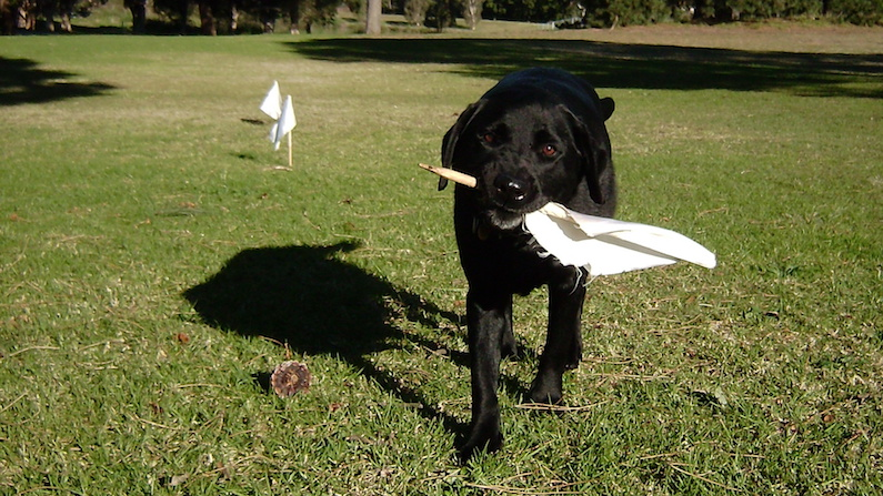 Would you train your dog to fetch flags?